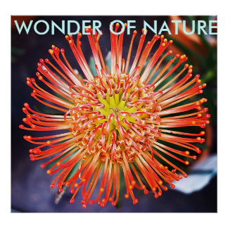 Wonder of nature - Red Leucospermum flower Poster