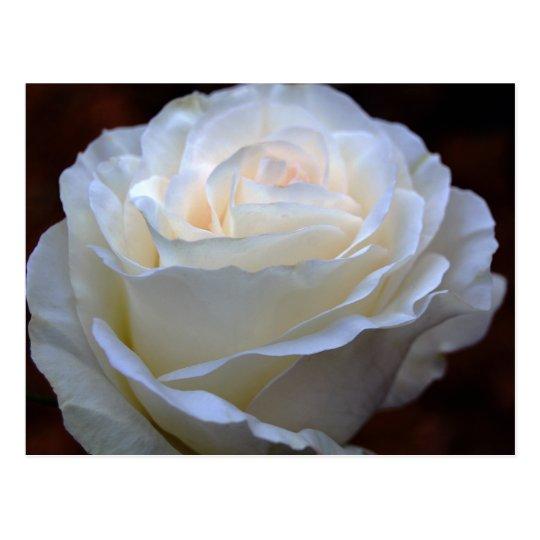 Wonderful White Rose Postcard