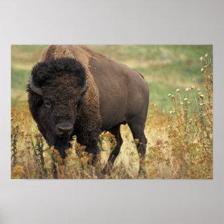 Wood Bison Poster Print