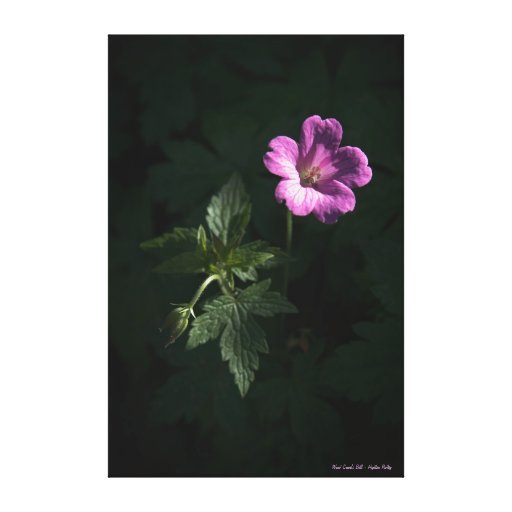 Wood Crane's Bill - wrapped canvas Stretched Canvas Print