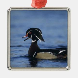 Wood Duck, Aix sponsa,male calling, New Christmas Ornament