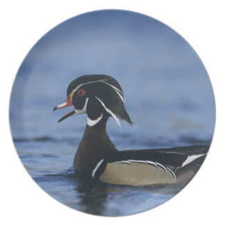 Wood Duck, Aix sponsa,male calling, New Dinner Plate