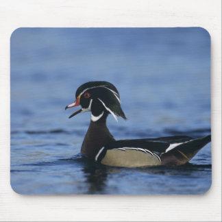 Wood Duck, Aix sponsa,male calling, New Mouse Mat