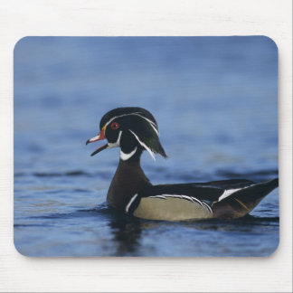 Wood Duck, Aix sponsa,male calling, New Mouse Pad