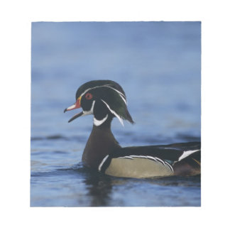 Wood Duck, Aix sponsa,male calling, New Notepad