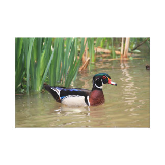 Wood Duck Stretched Canvas Prints
