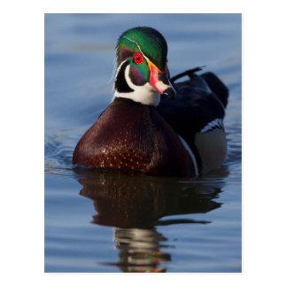 Wood Duck Drake 2 Postcard