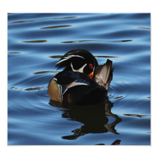 Wood Duck Drake Photo Print
