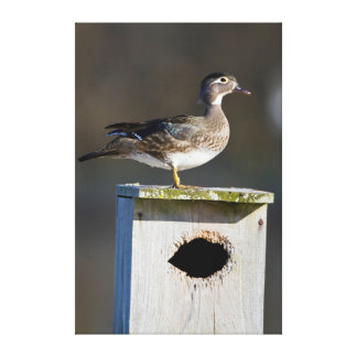 Wood Duck female on nest box in wetland Stretched Canvas Print