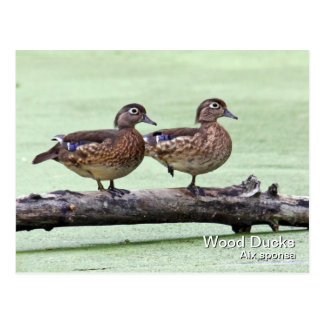 Wood Duck (females) Postcard