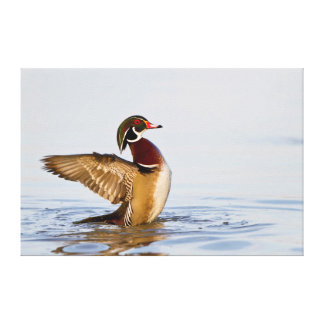 Wood Duck male flapping wings in wetland Stretched Canvas Print