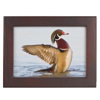 Wood Duck male flapping wings in wetland Keepsake Box
