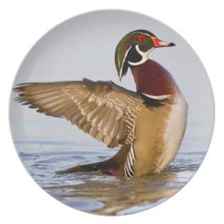 Wood Duck male flapping wings in wetland Party Plates