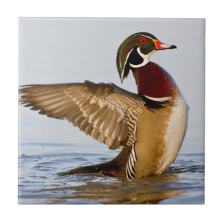 Wood Duck male flapping wings in wetland Tile