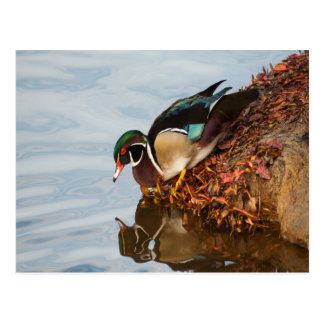 Wood duck on the shore postcard