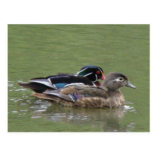 Wood Duck pair Postcard