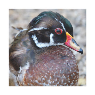 Wood duck - photo Jean Louis Glineur Canvas Print