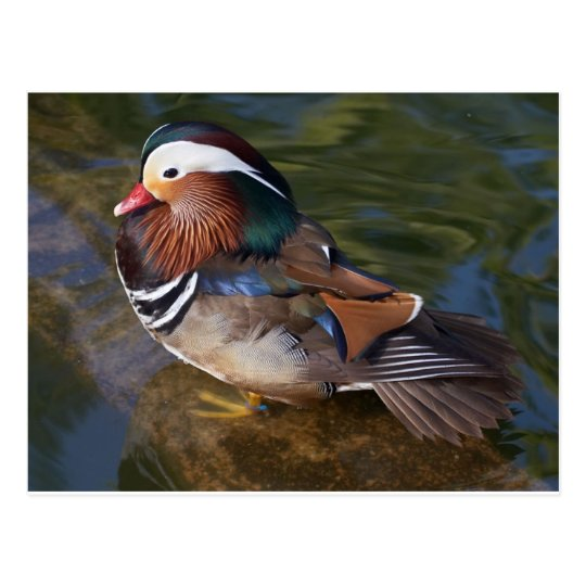 wood-duck-with-an-ankle-braclet postcard