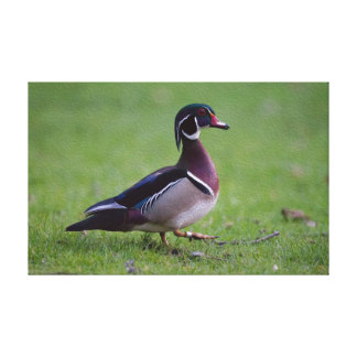 Wood Duck with Leg Band Stretched Canvas Print