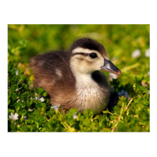 Wood duckling on the shoreline of Lindo Lake Postcard