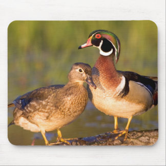 Wood Ducks and female on log in wetland Mouse Pad