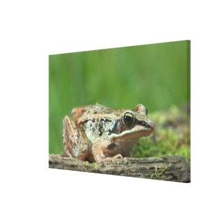 Wood frog. Rana sylvatica Canvas Print