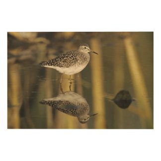 Wood Sandpiper, Tringa glareola,adult, Samos, Wood Wall Art