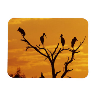 Wood Stork, Mycteria americana,adults at Magnet