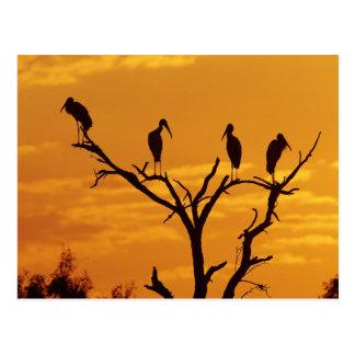 Wood Stork, Mycteria americana,adults at Postcard