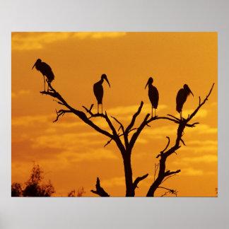 Wood Stork, Mycteria americana,adults at Poster