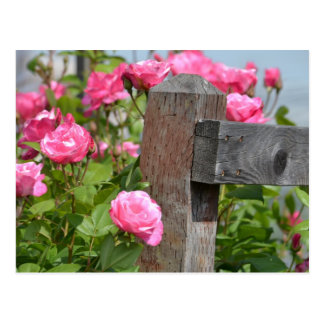 Wooden Fence and Roses Postcard