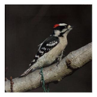 Woodpecker, Acrylic Print. Acrylic Wall Art