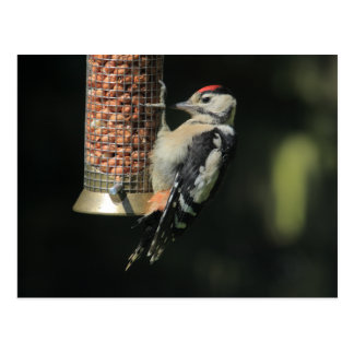 Woodpecker Postcard