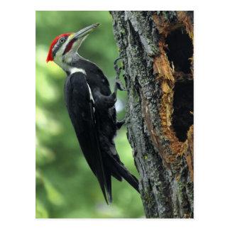 Woodpecker Post Card