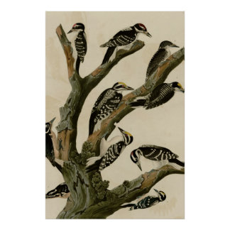 Woodpeckers Poster