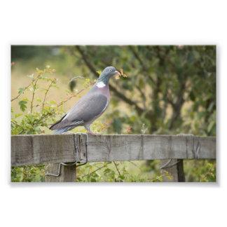 Woodpigeon Photo Print