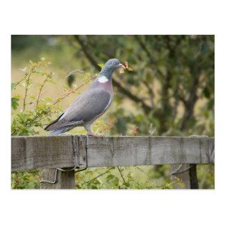 Woodpigeon Postcard