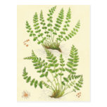 Woodsia Fern Post Cards