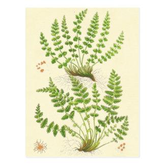 Woodsia Fern Postcard