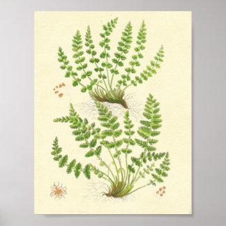 Woodsia Fern Poster
