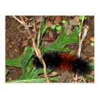 Woolly Bear Caterpillar - photograph Postcard