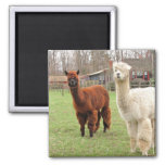 Woolly Llamas ~ magnet