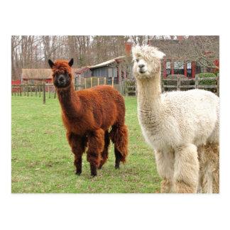 Woolly Llamas ~  postcard