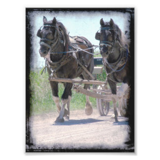 Working Amish Pinto Drafts Photo