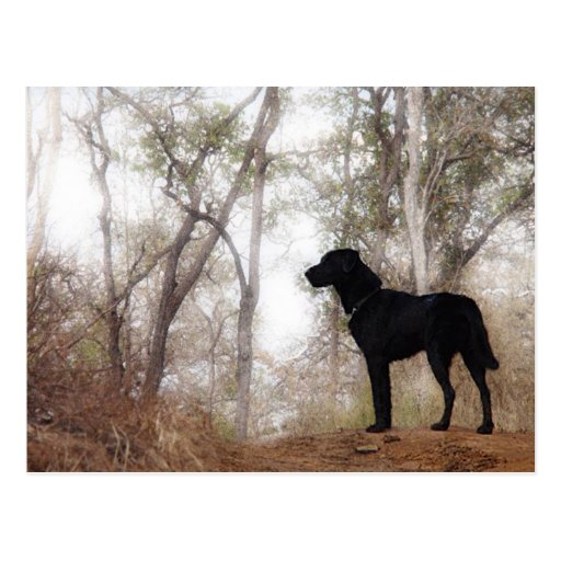Working Dog Scooby at Work Conservation Canines Post Card