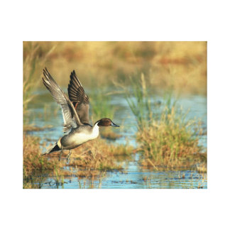 Wrapped Canvas - Northern Pintail Takeoff 20x16