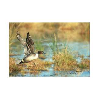 Wrapped Canvas - Northern Pintail Takeoff 24x16