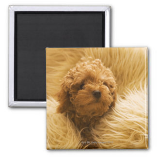 Wrapped up Poodle Magnet