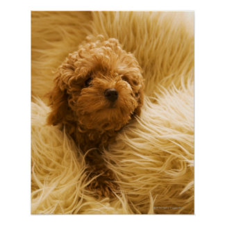 Wrapped up Poodle Poster