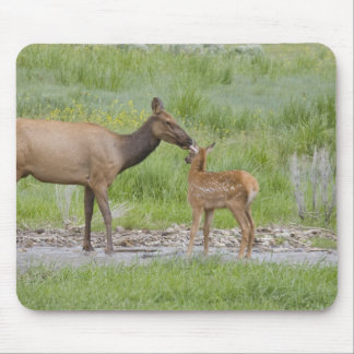 WY, Yellowstone National Park, Elk calf and Mouse Mat